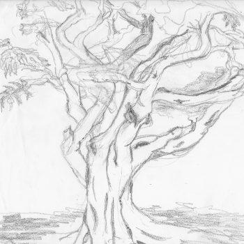 Coolamon Tree